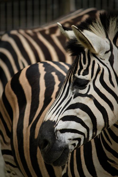 東山動物園のシマウマ