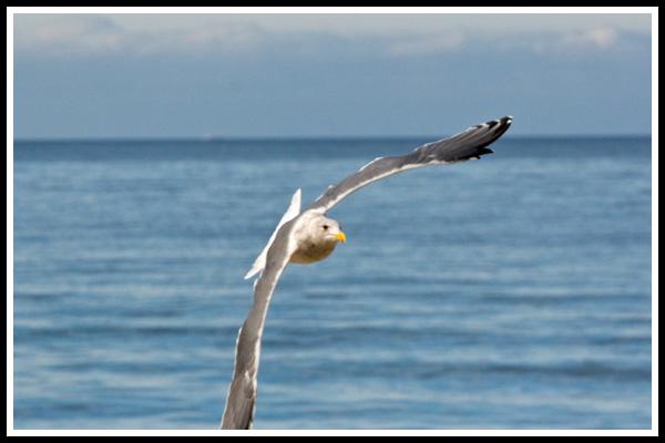 beach_gull