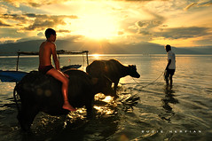 Buffalo herd boy with his 'Opung' ( DocBudie) Tags: blue sunset children indonesia buffalo nikon village traditional flash grandfather oldman bluesky kampung tpc humaninterest budaya batak shepherds humanist carabao laketoba rurallife sb800 childrenportrait pulausamosir samosirisland kerbau gembalakerbau langitbiru tourismdestination northsumatra nikkor18200mm danautoba sumaterautara opung pangururan liveview strobish volcanolake cattleherder d300s batakculture tanahbatak horbo luarbiasaphotography nikond300s batakland tujuanwisata kabupatensamosir gembalaternak kehidupandesa budayabatak visitindonesia2009 visitlaketoba2010 tobaphotographerclub tobaphotographer tobaguide sumatraphotographer