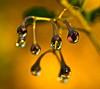 Reflection of Autumn (DMCleveland) Tags: autumn orange flower macro reflection fall gold droplets drops refraction flowermacro waterdropmacro watermacro platinumphoto roccotaco sonyalpha350
