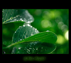 Pearls . . . (Ishan Aranjikal) Tags: india macro nature wet water leaves rain forest canon leaf drops rainforest shine natural bokeh kittens drop pearls monsoon greens bombay raindrops bollywood pearl veins mumbai waterdrops rains glisten mahim bukeh 100d mywinners theunforgettablepictures mahimnaturepark dahek canon1000d ishanaranjikal magicunicornverybest magicunicornmasterpiece saawanbarse