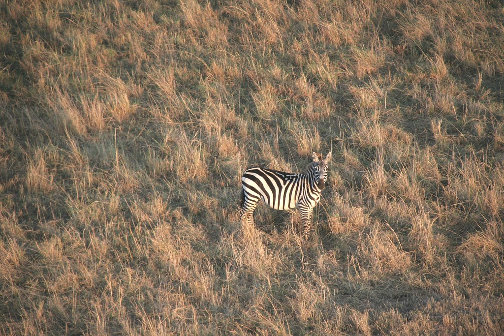 Plains Zebra (from Balloon) - Maasai Mara, Kenya