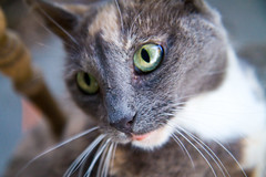 Patches (Changa_Lion) Tags: cat eos lol kitty 7d patches youreakitty canon7d