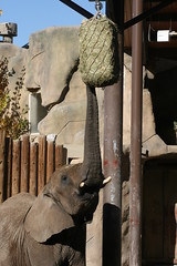 Reaching for a snack (quinn.anya) Tags: elephant reaching eating mother snack trunk christie hay hoglezoo