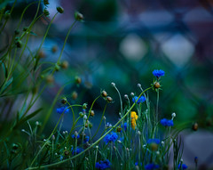 long way home (nardell) Tags: flowers nature fence garden evening spring pa grasses weddings springtime westchester citygarden longwayhome frontbokeh shootingthroughfences loveslabors