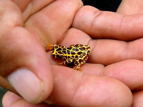 Giraffe Frog