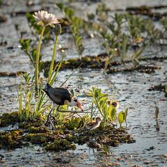 Look out ......DSC_7006 (BlueberryAsh) Tags: darwin kakadu northernterritory australianbird bird combcrestedjacana chick jesusbird water nikond750 tamron150600