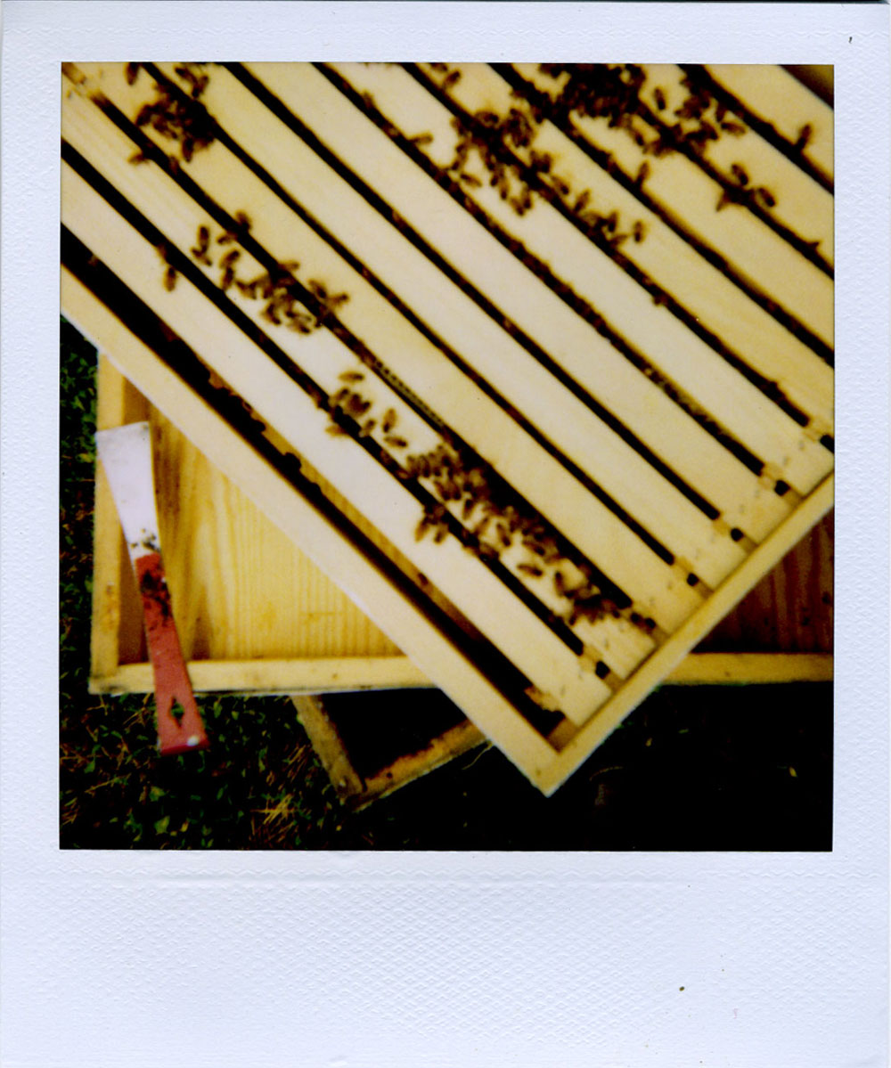 pola: bees