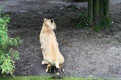 Ook een leeuwin moet wel eens..... (Dimormar!) Tags: zoo blijdorp meetup lion shit dierentuin leeuwin diergaarde blijdorpmeetup2009 meetupblijdorp2009