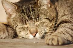 Schlummernde Katze (kristofarndt) Tags: up close katze schlafend braun schlafen schwarz schlft schlummern schlummert