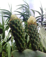 Reed & Cactus     (Jamal Elkhalladi) Tags: flowers nature fleurs morocco maroc milli  hassi   berkane   triffa