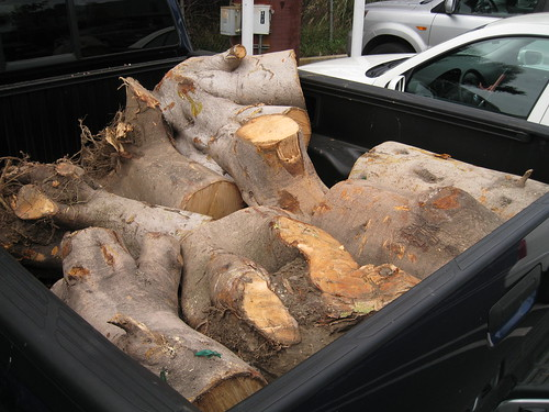 very large fig logs in my truck bed