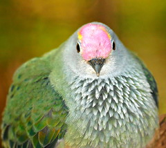 Rose_Crowned Fruit Dove (ianmichaelthomas) Tags: friends birds healesvillesanctuary doves birdwatcher smorgasbord royalmelbournezoo supershot animaladdiction goldenmix australiannativebirds wildlifeofaustralia impressedbeauty fruitdoves avianexcellence excellenceinavianphotography diamondclassphotographer flickrdiamond eiap auselite naturewatcher wonderfulworldmix healesvillevictoriaaustralia rosecrownedfruitdoves