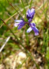 machair flower (fotofal) Tags: westernisles uist hebrides benbecula southuist outerhebrides berneray hebridean eriskay lochmaddy northuist lochboisdale uists outerisles
