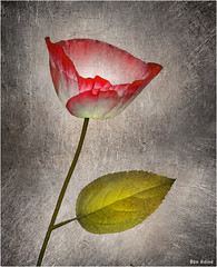 Darling (Ben Heine) Tags: travel light red wild woman sun flower tree texture love nature colors beauty metal garden season print landscape rouge photography countryside leaf petals poem colours photographie heart time nikond70 earth geometry lumire details jardin vivid philosophy compo coeur romance amour gift oxford harmony memory poppy poet passion planet present terre organic spirituality conceptual copyrights paysage botanicgarden biology darling feuille ecosystem chri saintvalentin sauvage ptales saintvalentinesday digitalshot petersquinn benheine colourartaward hubertlebizay hubzay flickrunited infotheartisterycom