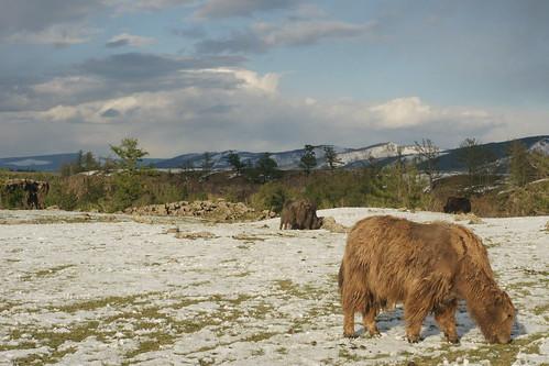 Orkhon valley yak