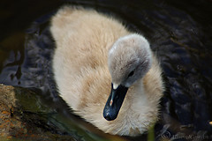little fluffy (Al JC) Tags: wild baby bird nature scotland swan fife cygnet abigfave anawesomeshot dalbeathmarsh