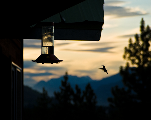 Calliope Hummingbird at dusk
