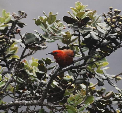 ʻiʻiwi honeycreeper