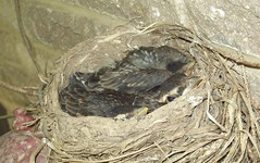 Baby Robins (June 26 2009) (JRBooth) Tags: nature nest wildlife robins babybirds