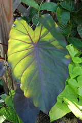 C. 'Black Magic' (Henryr10) Tags: aracea aroid blackmagic colocasia