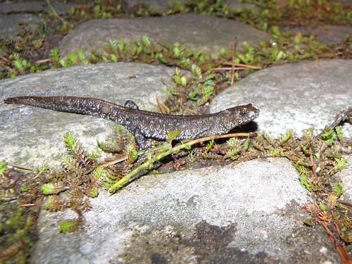 Stor Vandsalamander
