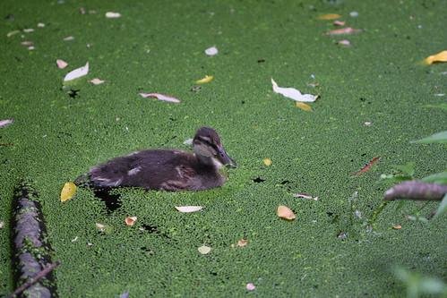 Duckling in duck weed