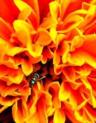 hideout (red_head_shan) Tags: orange flower macro yellow bug ant petal hide hiding marigold hideout