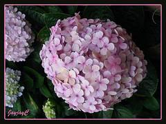 Hydrangea macrophylla (Mophead Hydrangea, Bigleaf Hydrangea, Hortensia) in pink