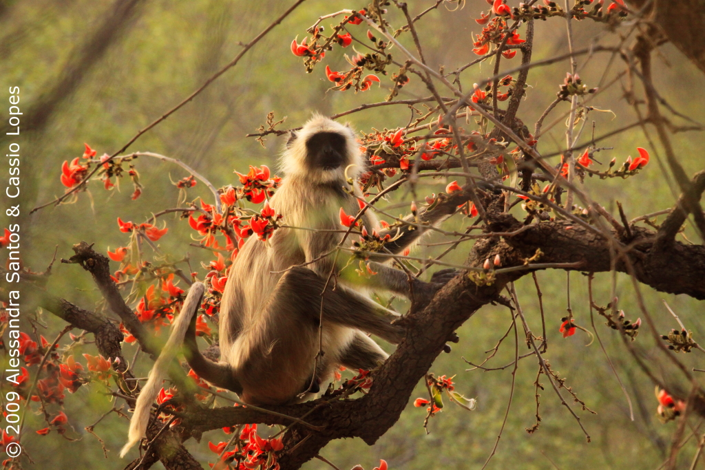 Langurs with Flame-of-Forest Blossoms