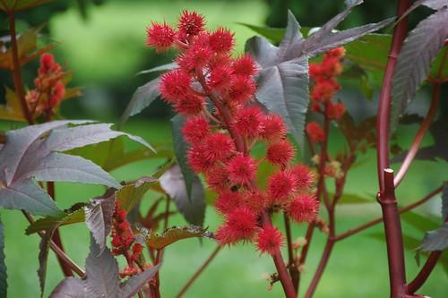 Ricinus communis, Castor Bean plant