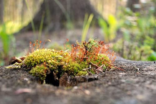 stump moss