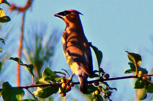 cedar waxwing callahan shade