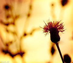 Return of the Bokeh Thistles (Grant_R) Tags: sunset flower macro ex silhouette closeup photoshop garden stem weed flora nikon raw bokeh sigma backgarden acr wildflower f28 flowercloseup cs4 105mm goldenglow thistlecloseup deepbreath d90 notthistime blendedlayers heregoes goldenbokeh nikond90 andbreatheagain thistlemacro alotofbokeh sigmaf28105mmex blendedtexture veryscottish itswasntreallysunset wasnttoofarawaythough didisaythistles gardensamess welljustthisbit therestisfinehonest nota50 hadthemacroon nowtheboringstuff