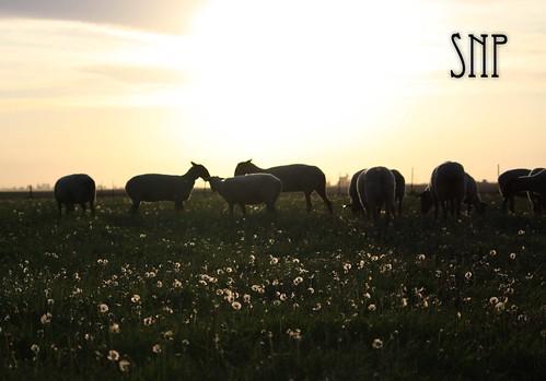 . sheep .
