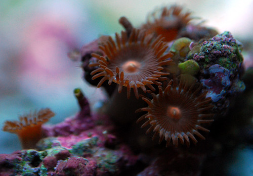Peanut Butter Cup Zoas
