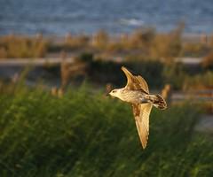 _8312419 (Adisla) Tags: bird birds mar flight olympus ave e3 50200mm gaviota volando volar charca zd50200mm ec14