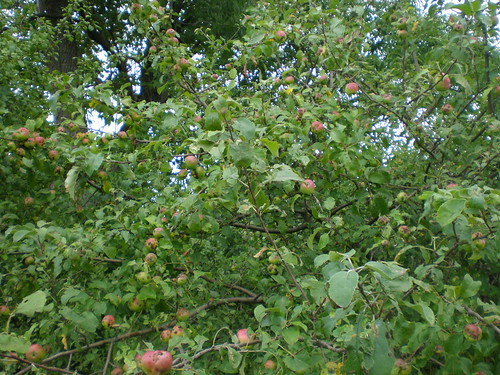 An apple tree growing unattended in the middle of a field