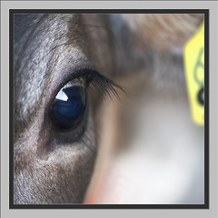 02.06.09 male a.k.a 68 645 (Salland...) Tags: macro animals canon square eos cow farm 11 calf tamron 90mm dieren melk koe kalf boerderij vierkant erfde scheppern 1000d