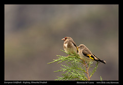 European Golfinch (M V Shreeram) Tags: india tree bird nature nikon wildlife pair nikkor dslr 70300mm vr avifauna treetop fringillidae cardueliscarduelis europeangoldfinch d90 passerine keylong himachapradesh