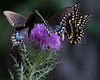 Spicebush and Eastern Black Swallowtails on a Purple Thistle
