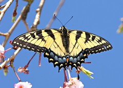 The Promised Kiss of Springtime (DrPhotoMoto) Tags: tigerswallowtail peachblossom carolinablue superaplus aplusphoto panoramafotogrfico