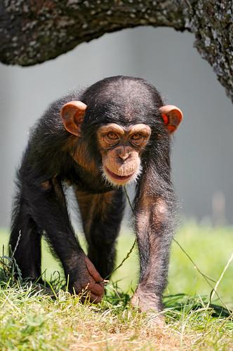 フリー画像|動物写真|哺乳類|猿/サル|チンパンジー|子猿|フリー素材|