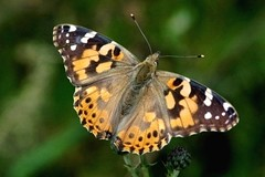 Painted lady butterfly - Amsterdam (IvoMathieuGaston) Tags: orange white black color colour macro green colors amsterdam butterfly nikon colours d70s paintedlady naturegroup heartawardsgroup butterflycolorgroup flickrstarsgroup wonderfulworldofanimalsgroup freenaturegroup amazingmacrosgroup naturegreenstargroup butterfliesgroup worldofanimalsgroup nikonflickrawardgroup smallcreaturesgroup loverofnaturegroup fotosconestilogroup nederlandbelichtgroup exquisiteworldofnaturegroup macrosdenaturalezagroup beautifulshotgroup mallmixstarawardgroup enarmoniaconlanaturalezagroup macroworldgroup butterflybeautygroup dutchnaturegroup butterflygallerygroup universeofnaturegroup finestnaturegroup