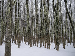 Bosque de Lengas (Mono Andes) Tags: chile trees winter tree forest trekking backpacking bosque rbol andes invierno 2009 lengas parquenacional fagaceae parquenacionalpuyehue regindeloslagos nothofaguspumilio elcaulle