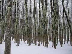 Bosque de Lengas (Mono Andes) Tags: chile trees winter tree forest trekking backpacking bosque rbol andes invierno 2009 lengas parquenacional fagaceae parquenacionalpuyehue regindeloslagos nothofaguspumilio elcaulle