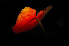 Dream in Red (scorpion (13)) Tags: red black flower nature beauty aquarium blossom cologne visit chapeau damn today soe bestofthebest cubism anthurie bej fineartphotos beautifulcapture mywinner abigfave flowersonblack platinumphoto anawesomeshot overtheexcellence flickrsfantasticflowers goldstaraward rubyphotographer iwishidtakenthat gr8photos worldmasterpieceaward