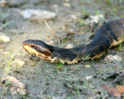 Cottonmouth20091025