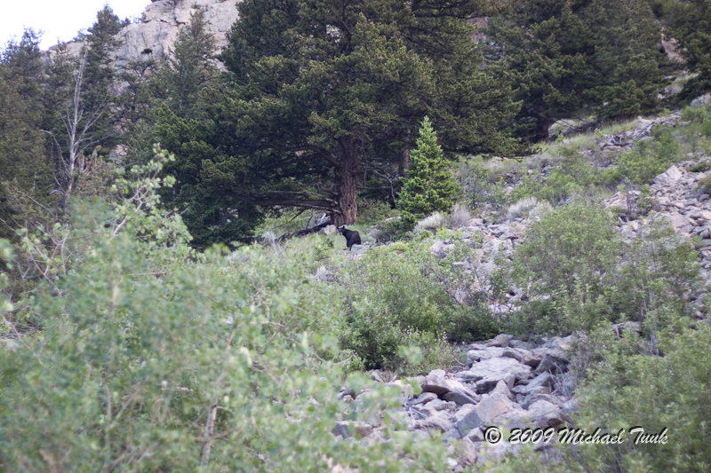 Black Bear In Nye, MT