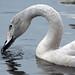 Whooper Swan, Marten Mere November 2009